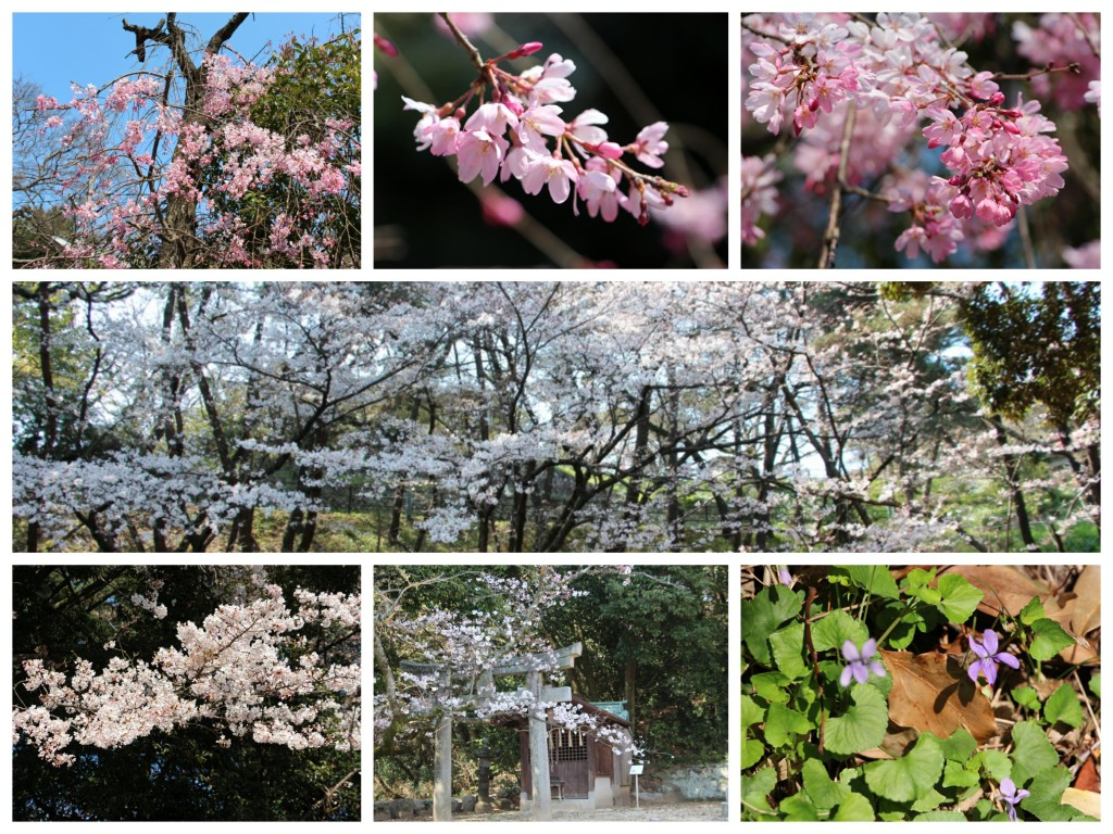 Collage_西公園の桜