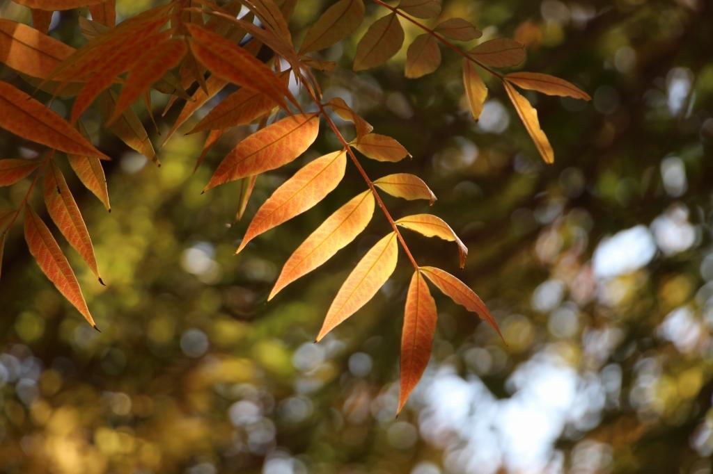 櫂の樹の葉