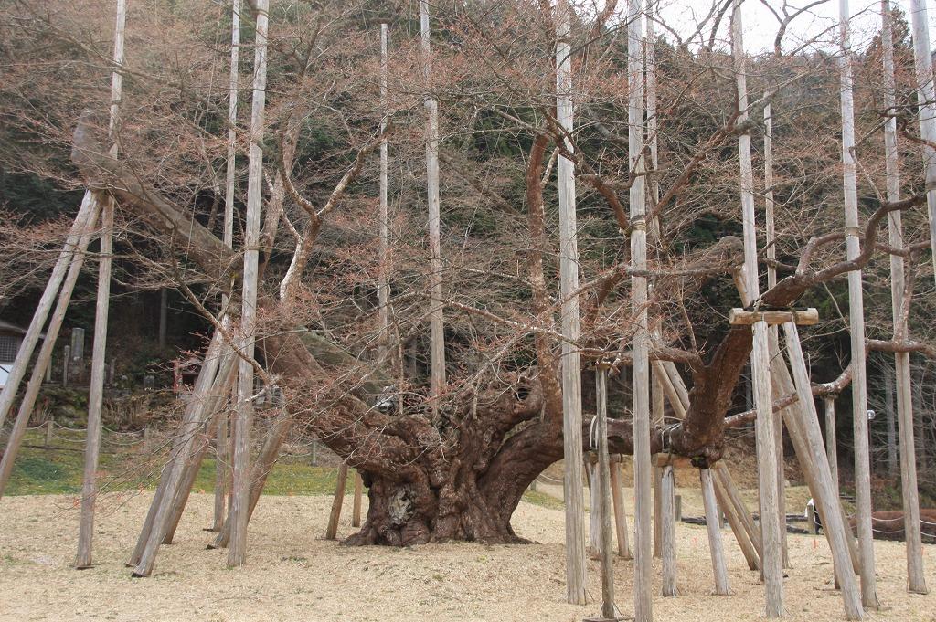 2009年に訪れた、岐阜の薄墨桜。3月だが、まだちらりとも咲いて鋳ませんでした。寒かったのだ。