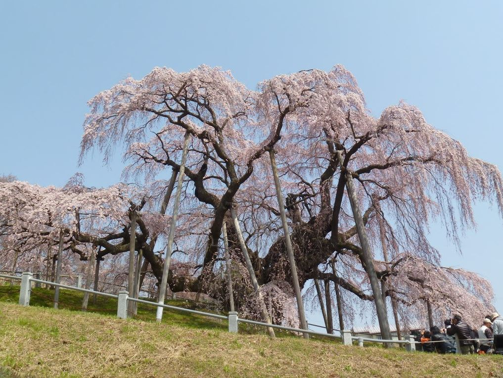 福島県・三春町の滝桜
