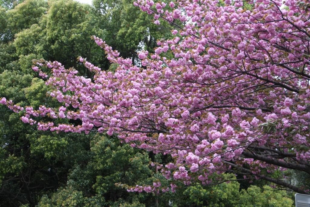 九州大学の八重桜