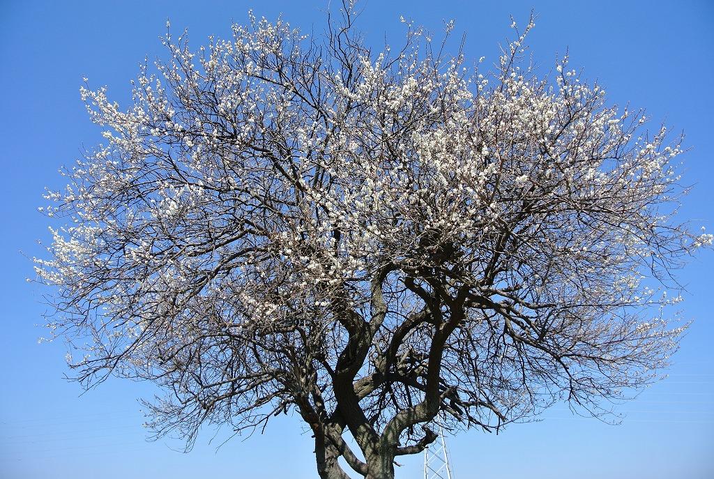 身近に見ると桜ではない
