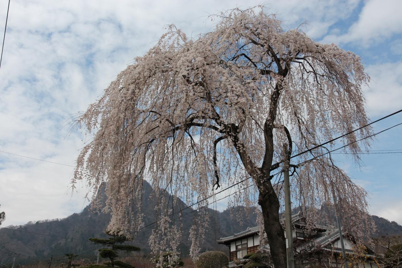 妙義山の、しだれ桜、満開