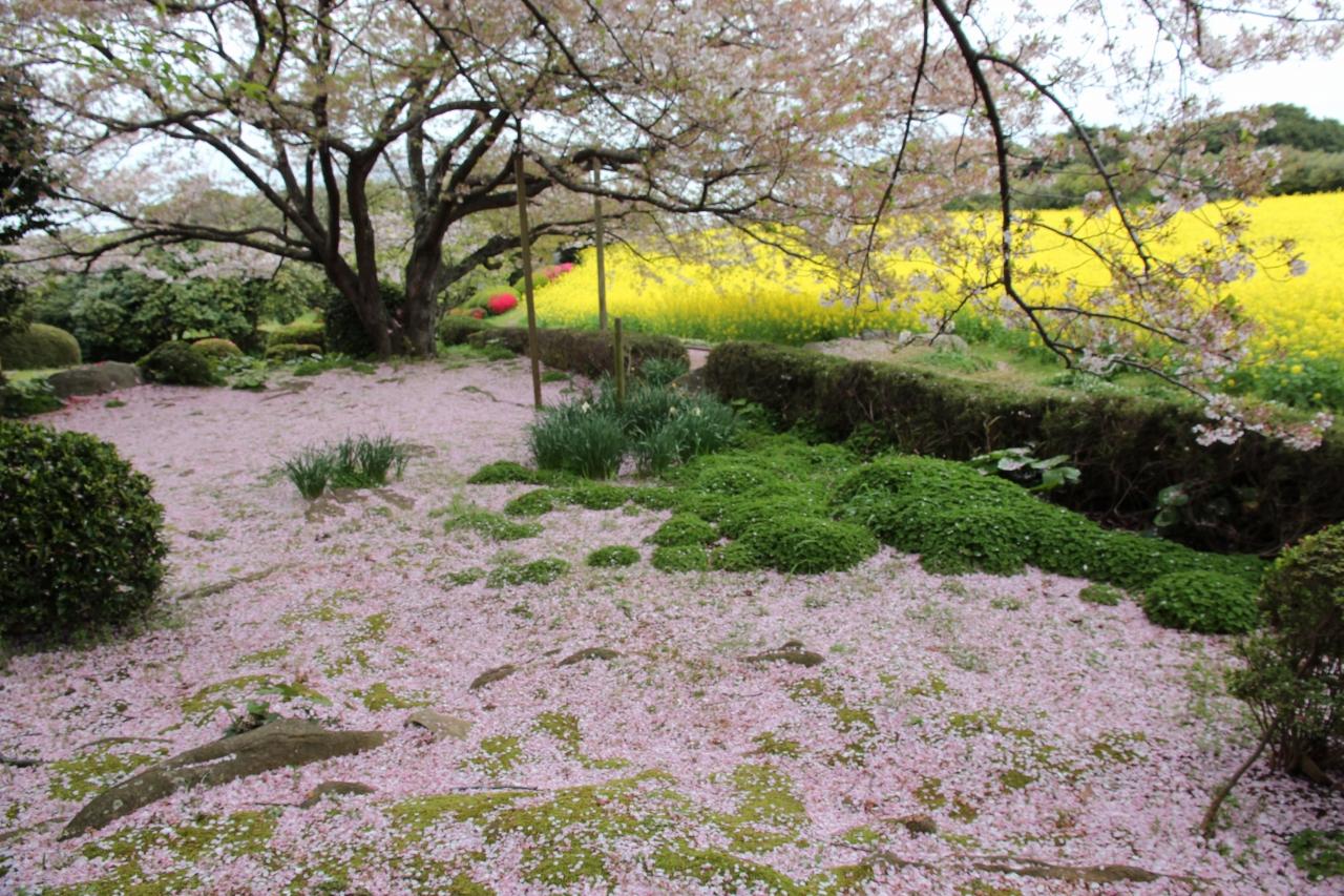 能古島の桜吹雪