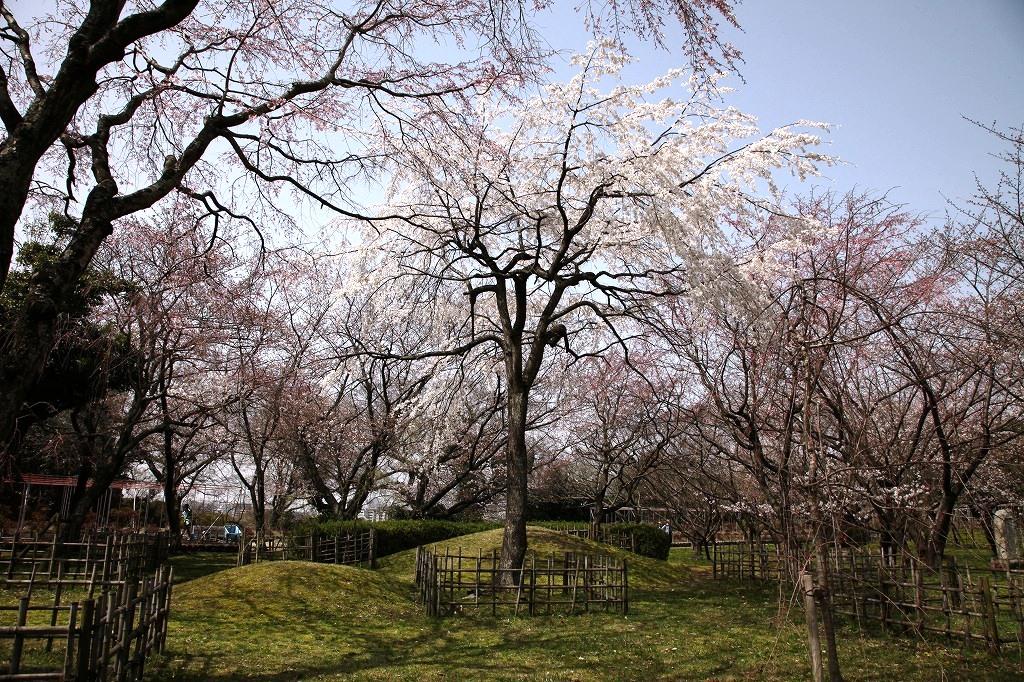 黒田如水邸のしだれ桜
