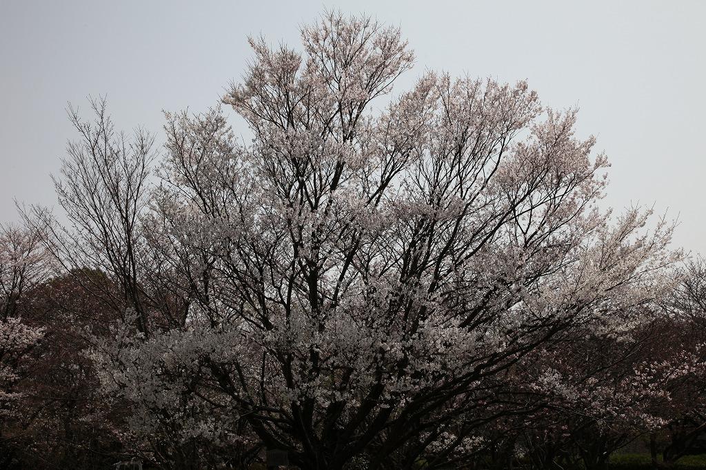 大濠公園の薄墨桜