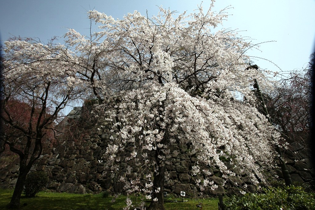 福岡、舞鶴城のしだれ桜が満開です